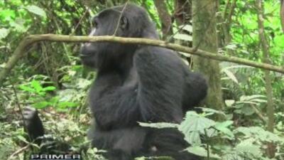 En Mundo de impacto: Gorilas en las montañas de Africa