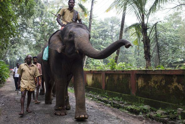 Otra tarea de los Mahouts es lograr que los elefantes logren cargar a lo...