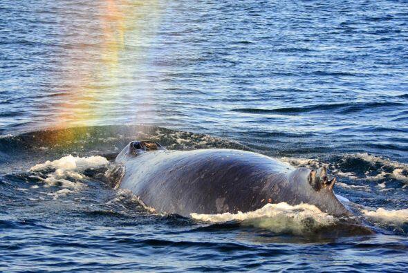 Este mamífero viaja por todos los océanos y mares alrededor del mundo,...
