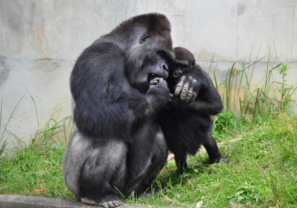 Shabani, el gorila ultra sexy