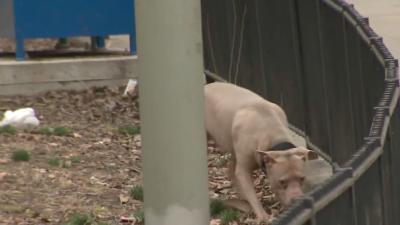 El pitbull estaba en un área infantil en la que estaán pro...