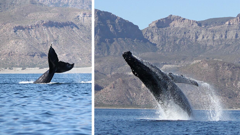Ballenas jorobadas retrasaron su 'veraneo' del 2016 Ballenas.jpg