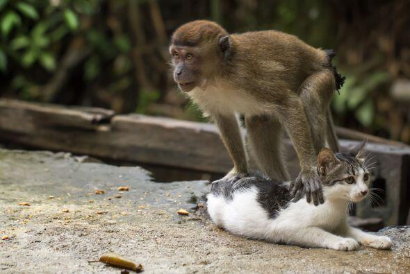 Esta peculiar amistad no sólo se limita al juego, el pequeño mono saltó...