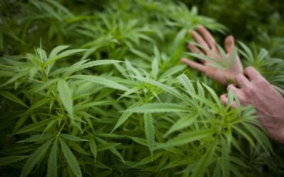 El Senado convirtió en ley el proyecto que avala el uso medicinal...