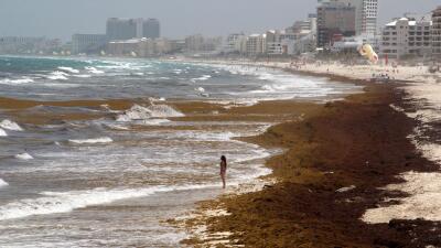 Qué es el sargazo, el alga color marrón que está invadiendo las turísticas playas de Cancún
