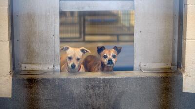 Servicio de Animales de Dallas abre jornada gratuita de adopción de mascotas