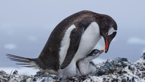 Conservación de Especies Gentoo_Penguins_Deborah_Albert_APA_2017_Grand_P...