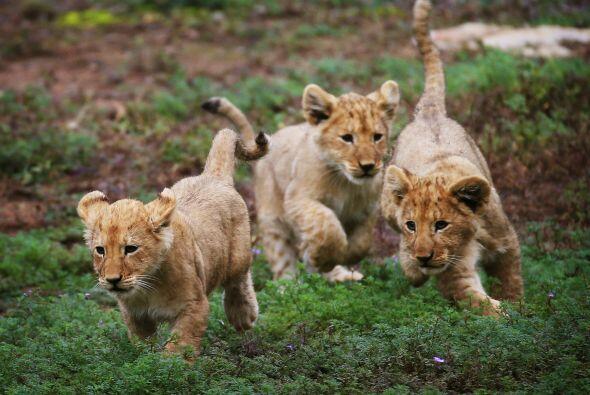 Corren, juegan, cazan, ¡estos pequeños son el orgullo de papá!
