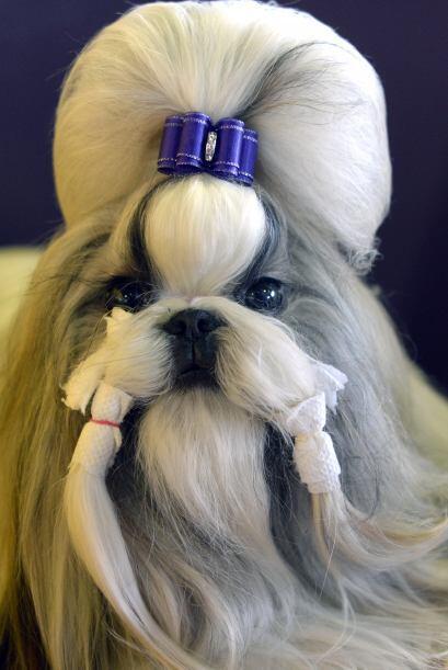 En este prestigioso certamen se evalúa al perro de patas a cabeza, por s...