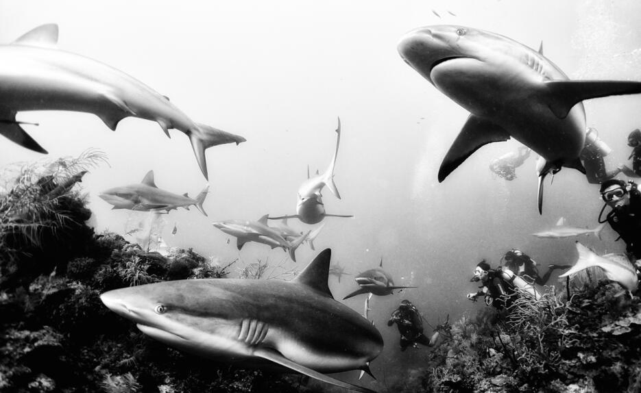 """Tiburones de arrecife en Jardines de la Reina, Cuba. """"No debemos tener m..."""