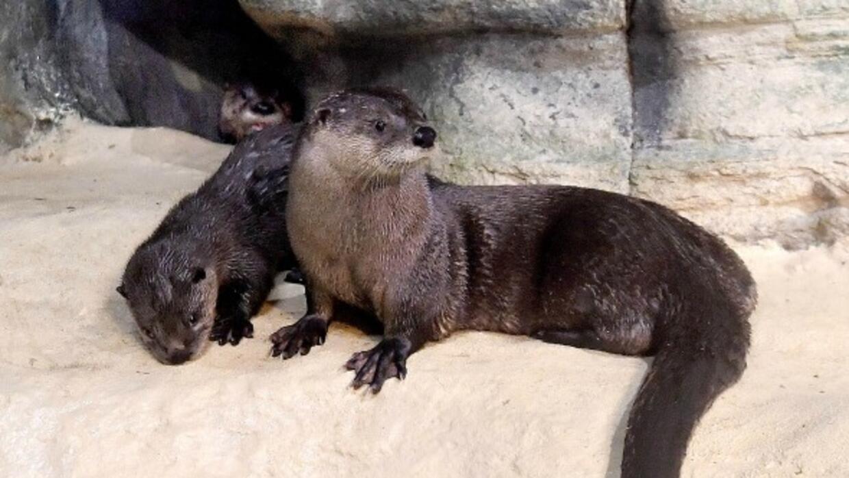 Dos bellas nutrias hicieron su debut en el zoólogico Brookfield e...