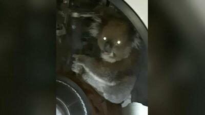 Este koala decidió tomar un paseo en el amortiguador de un auto
