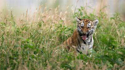 Tigre. (Imagen de archivo)