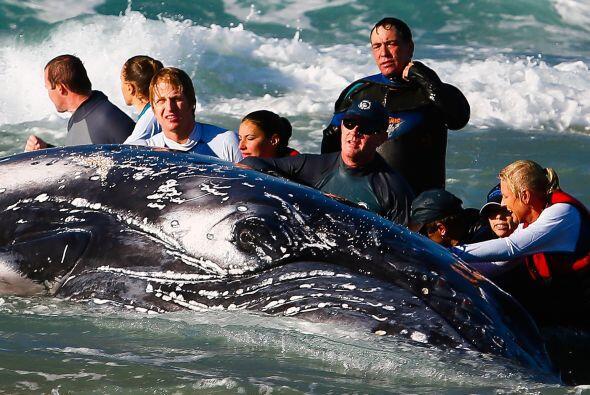 La causa de encontrar a un cetáceo varado puede ser que haya sido víctim...