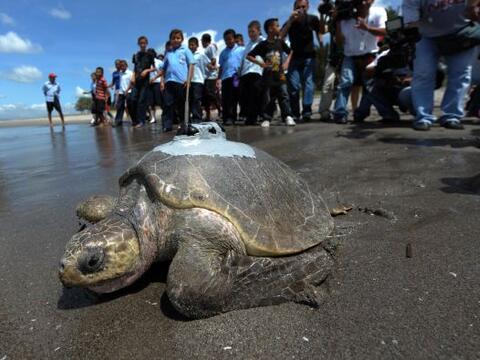 Una tortuga marina Golfina que anidó en una playa de El Salvador...