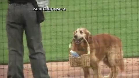 Este perro reparte botellas de agua en un partido de béisbol en Indiana