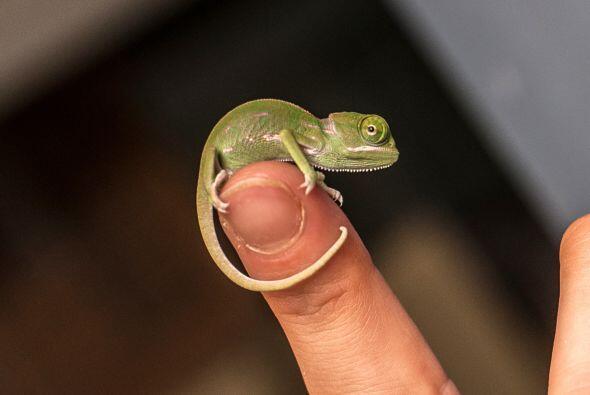 ¡Estos pequeños caben perfecto en lo alto del dedo!
