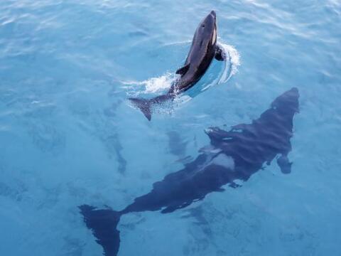 Una orca nada con su cría en una foto que forma parte de una expo...