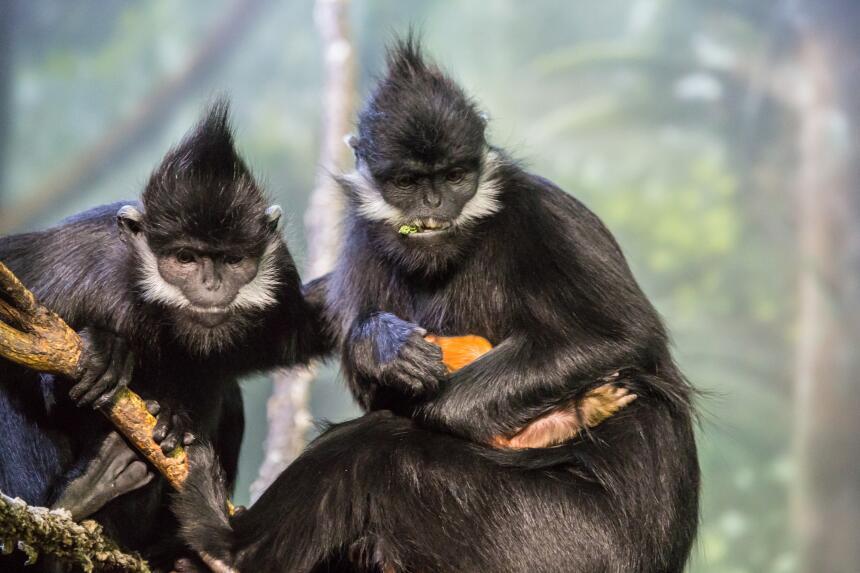 Nuevo bebé primate en el zoológico Lincoln