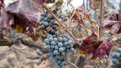 Mucha de la uva de la temporada ya se había recogido, pero no toda.