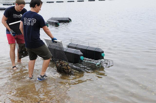 Las ostras están en unas jaulas y en esta fase buscan que estas se aclim...