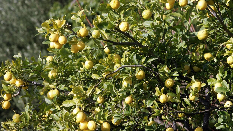 Detectan una bacteria que afecta los cultivos de limón, naranja y mandar...