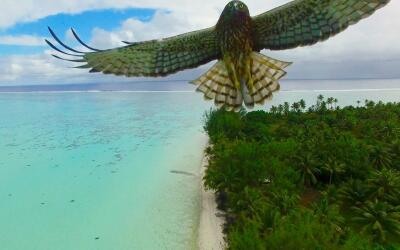 Bird attack in French Polynesia by Actua drone.jpg