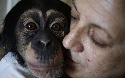Havana zoo biologist Marta Llanes Torres, 62, has raised chimps Ada and...