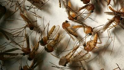 Inician trabajos de fumigación contra mosquitos portadores del virus del Nilo en Arlington