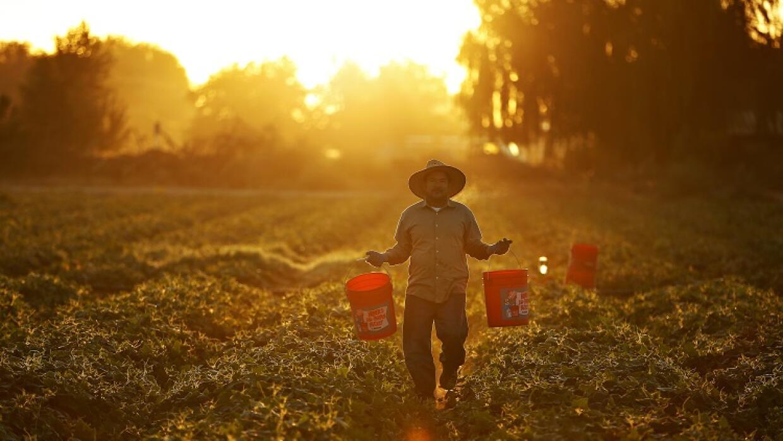 Un hombre recoge pepinos mientras sale el sol en una plantación cerca de...