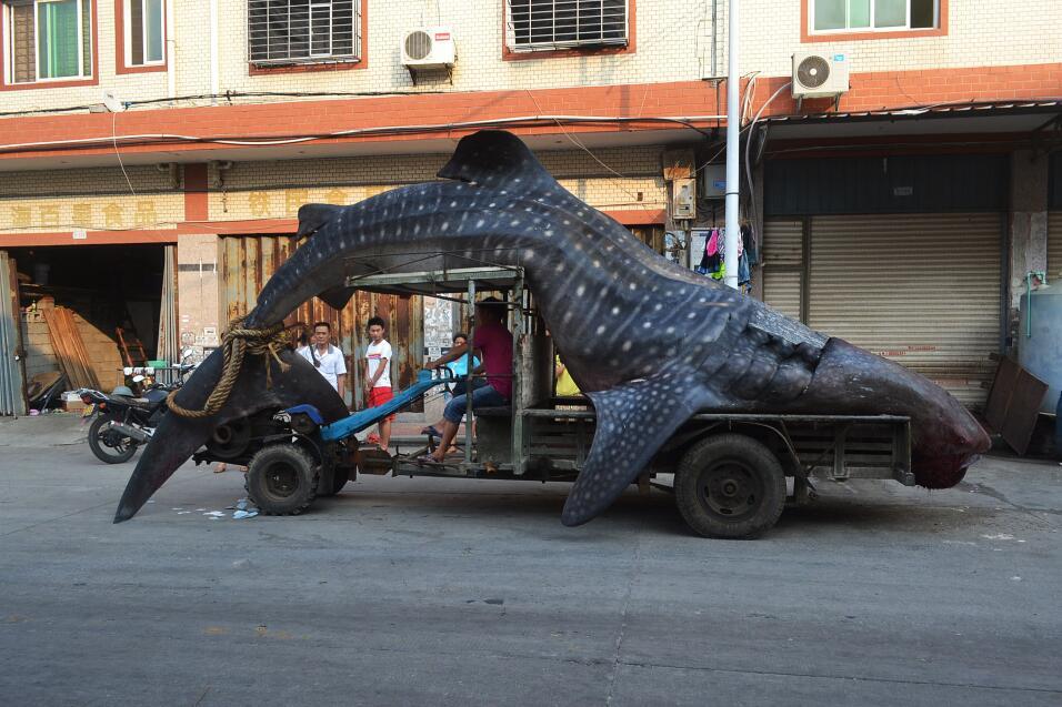 La matanza de tiburones es un problema en escala masiva, según Oceana. S...