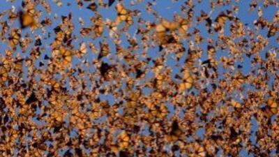 Nube de monarcas en Michoacán (Ingo Arndt/WWF).
