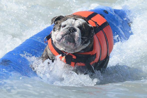 Este bulldog parecía dominar a la perfección las olas.
