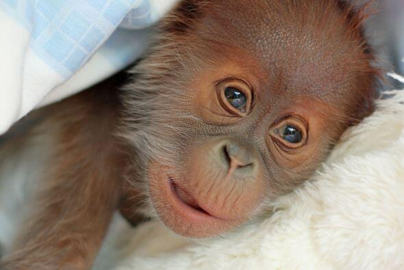 Un bebé orangután fue abandonado por su mamá, el pe...