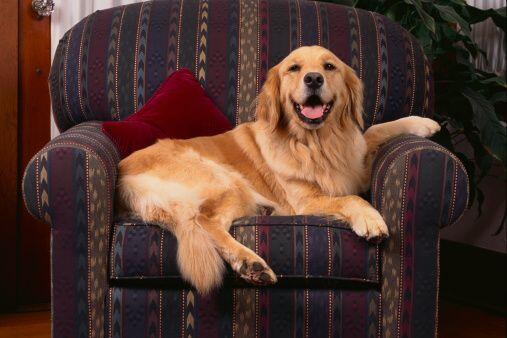 8) Golden Retriver- Otro de los perros favoritos en Chicago ya que es la...
