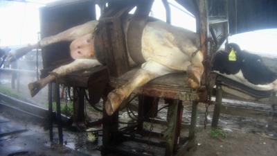 Una investigación de ARM reveló que más de una decena de vacas fueron ab...
