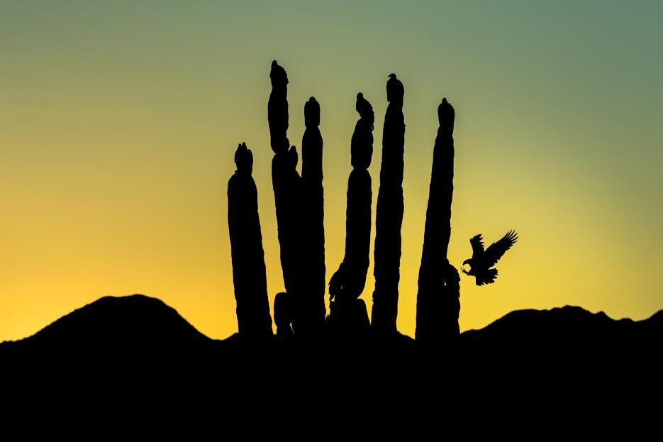 Siluetas de un grupo de zopilotes aura posados sobre cactus. Imagen toma...