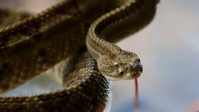 ¿Cura el cáncer la serpiente de cascabel?
