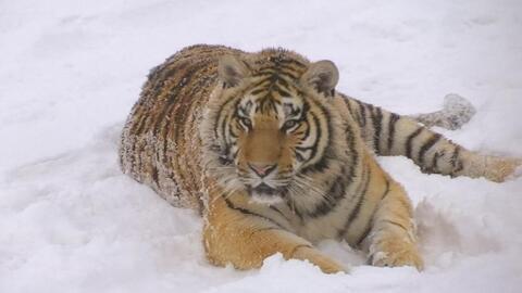 Una manada de tigres siberianos confunde un dron con una presa