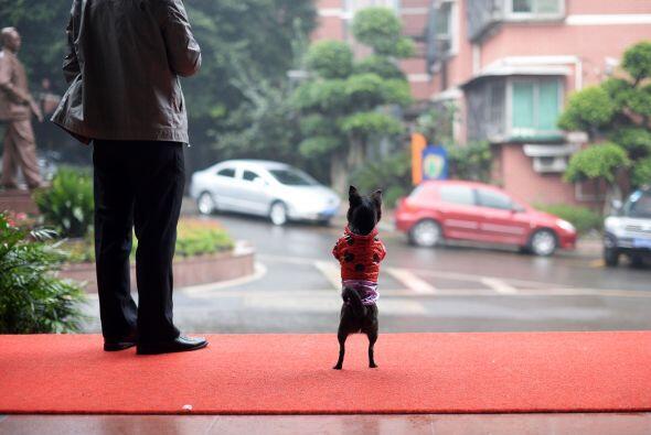 A esta curiosa mascota, ¡le encanta camina en dos patas!