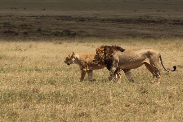 ¡Con eso quería atraer y llamar la atención de la leona!