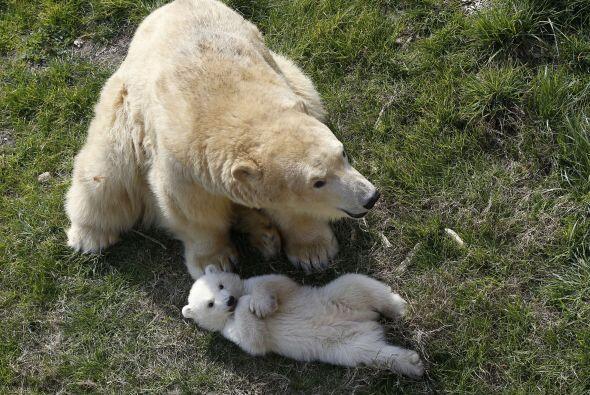 El oso polar es el súperdepredador por excelencia en el hemisferio norte.