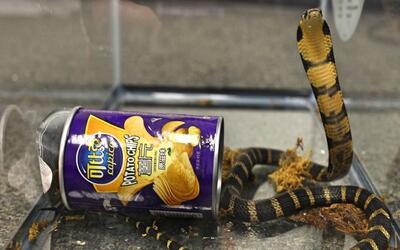 Una de las tres serpientes de la especie king cobra que llegó a L...
