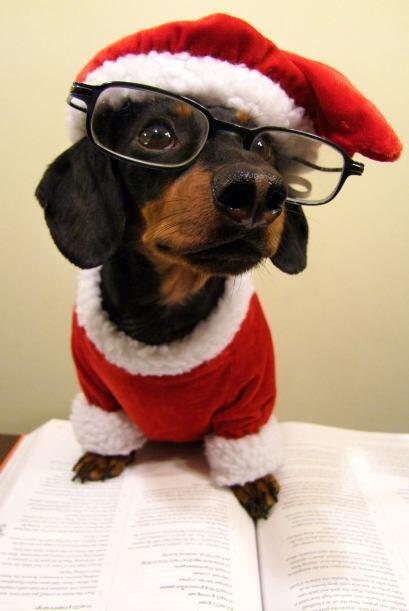 Durante los últimos tres años este dachshund de cuatro años de edad, se...