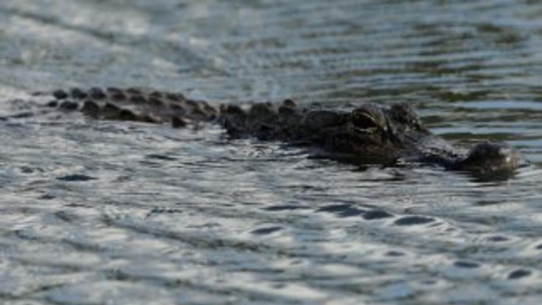 Un caimán de tres metros de largo que mordió a un hombre en un pie en un...
