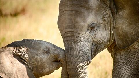 Los elefantes poseen genes adicionales derivados del TP53, el gen supres...