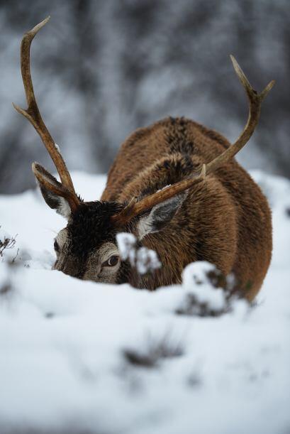 Un venado busca entre la nieve un poco de pasto para entrar en calor.
