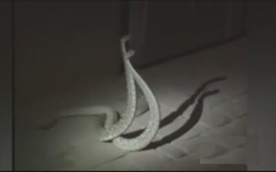 Hombre es mordido por una víbora de cascabel en su casa en Phoenix