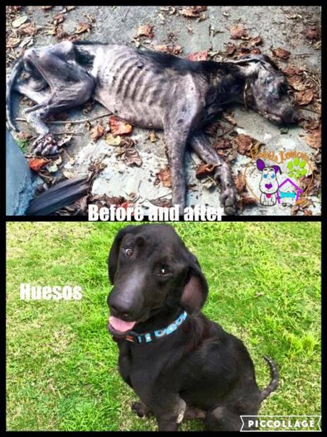 El perrito que fue hallado en una condición de salud grave, en pu...