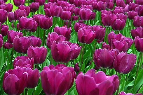 Las Praderas de Tulipanes en Holanda